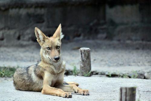 coyote animal zoo