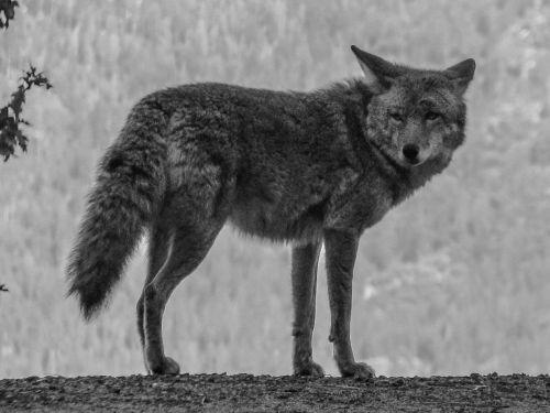 coyote yosemite usa