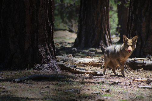 coyote tongue nature