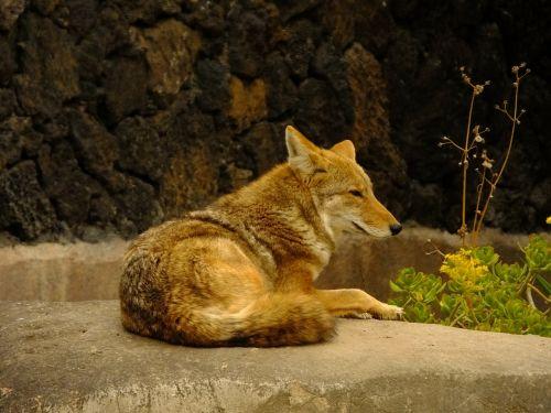 coyote animal mammals