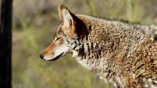 coyote  animal  fur