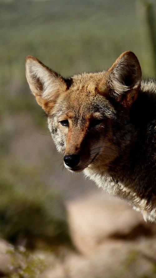 coyote  animal  wild