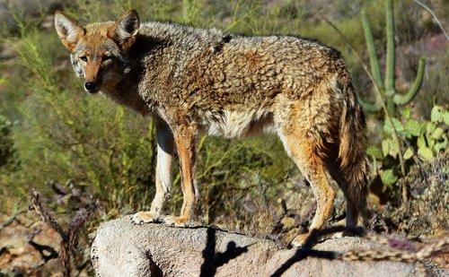 coyote  animal  nature