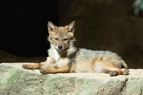 coyote  animals  zoo