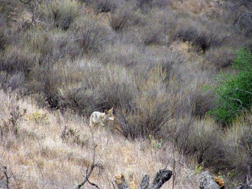 coyote wild nature