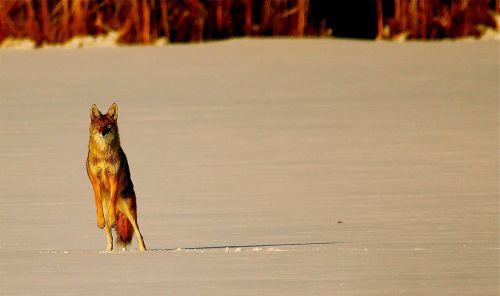 coyote animal snow