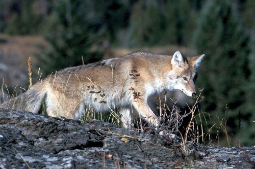 coyote wildlife nature