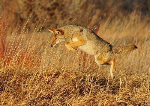 coyote leaping predator