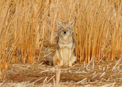 coyote sitting predator