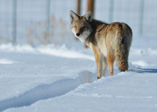 coyote snow wildlife