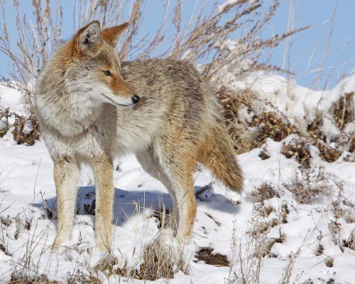 coyote snow winter