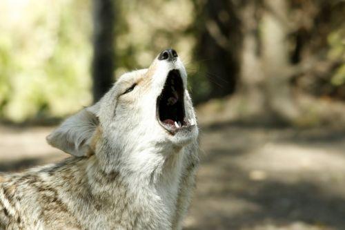 Coyote Howl