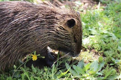coypu  animal  grass