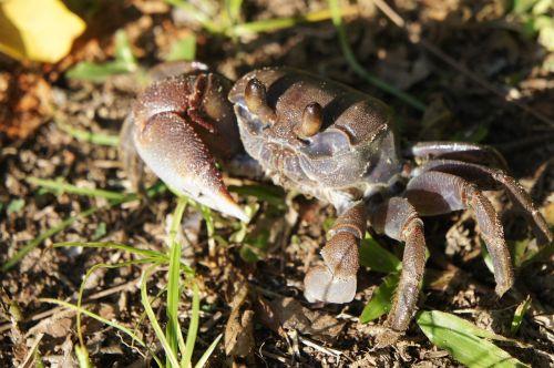 crab cancer shellfish