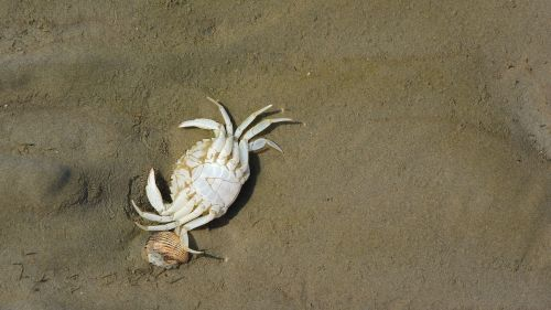 crab corpse beach