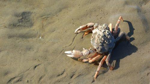 crab pincers brachyura