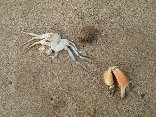 crab dead claw