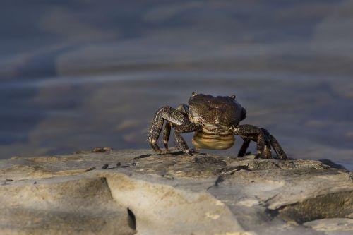 crab sea nature