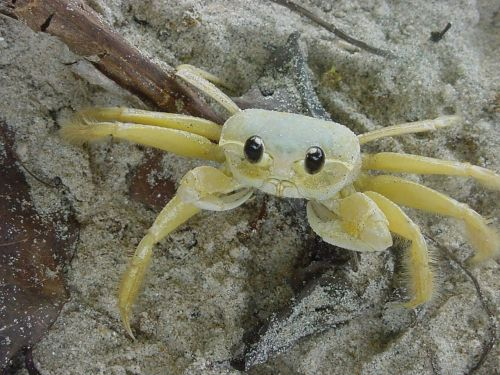 crab brazil island