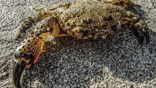 crab animal crustacean