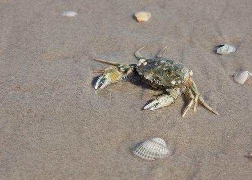 crab beach water
