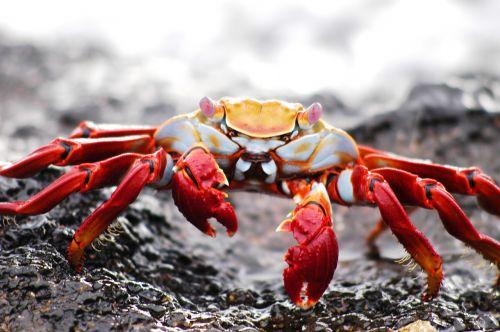 crab galapagos krabbe