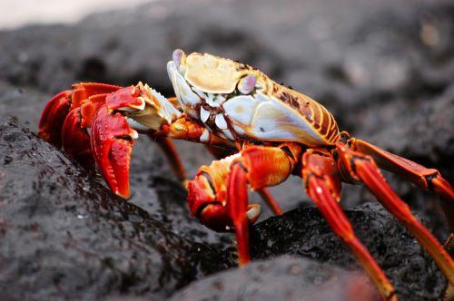 crab galapagos nature