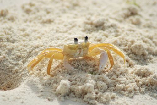 crab yellow ocypode quadrata