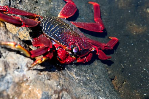 crab molluscum crustacean