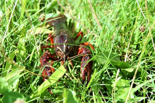 crab crayfish lobster