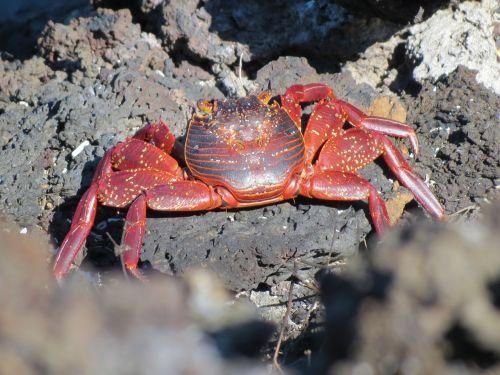 crab sally lightfoot crab red