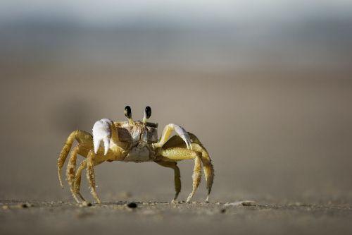 crab shellfish beach