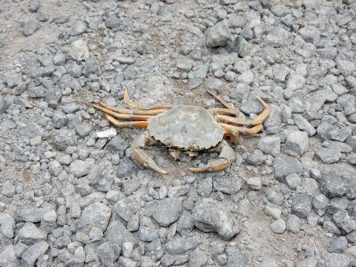 crab animal sea