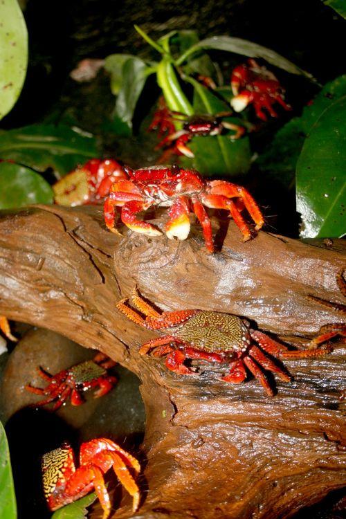 crab crustacean animal