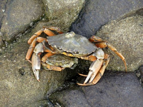 crab pairing north sea