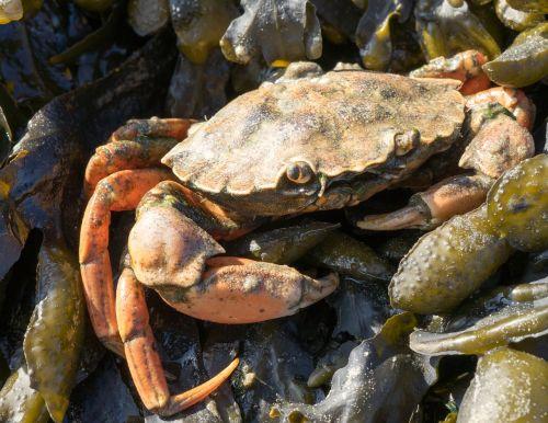 crab shellfish crustacean