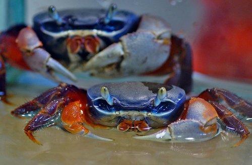 crab  african  aquarium