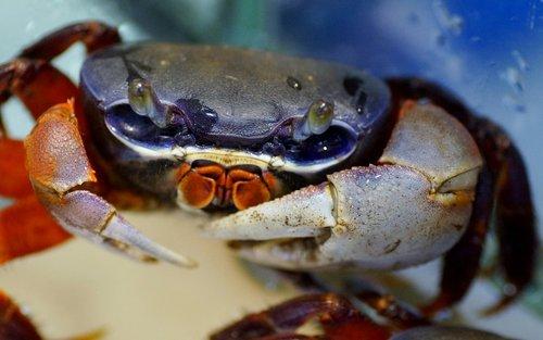 crab  african  crustacean