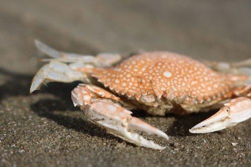 crab  beach  sea