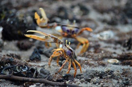 crab  crab violinist  park akanda