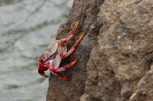 crab cancer pliers