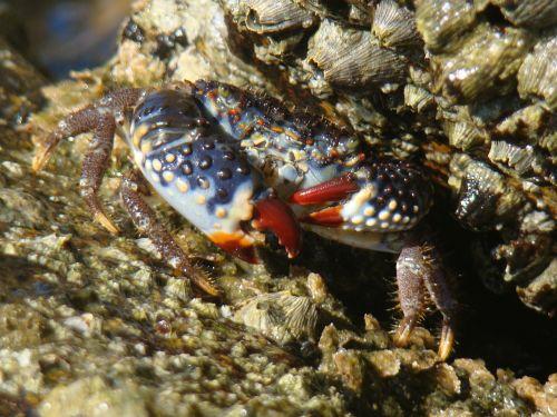 crab beach paw