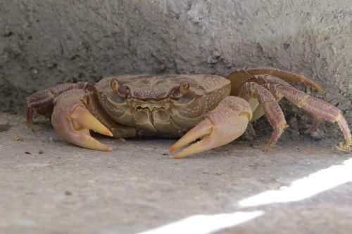 crab crustacean concealed