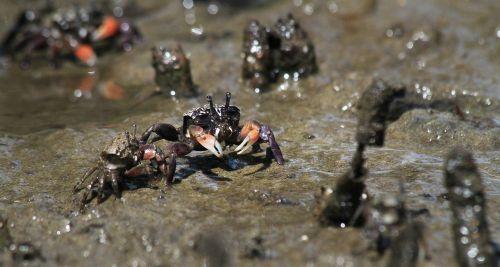 crab mud river