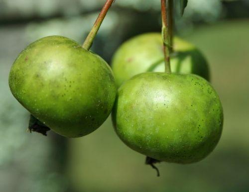 crab apples apple wild apple