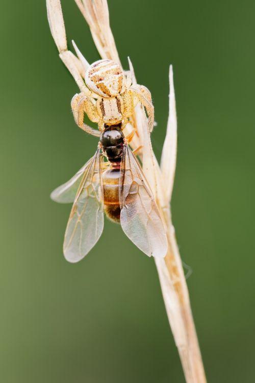 crab spider with prey ant queen macro