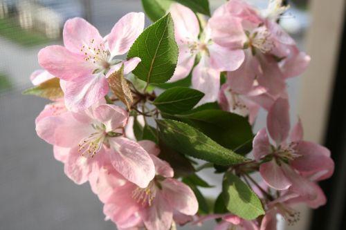 crabapple flowers apple