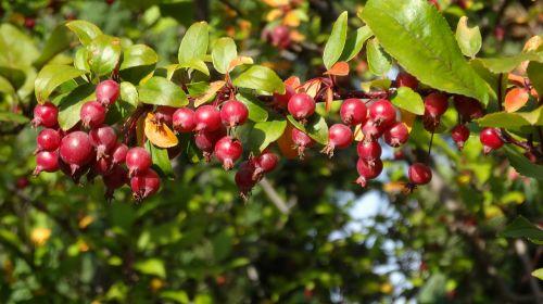 crabapple apples red