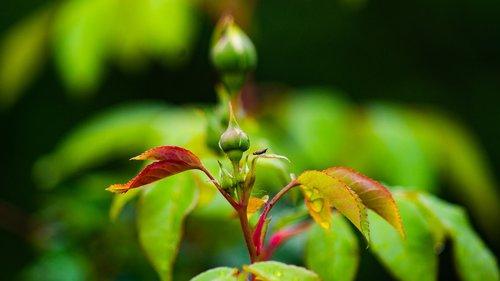crabapple  bud  spring