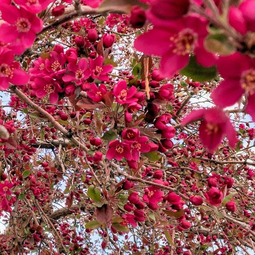 crabapple  blossoms  tree
